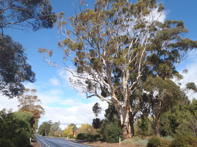 how to make gum trees grow faster